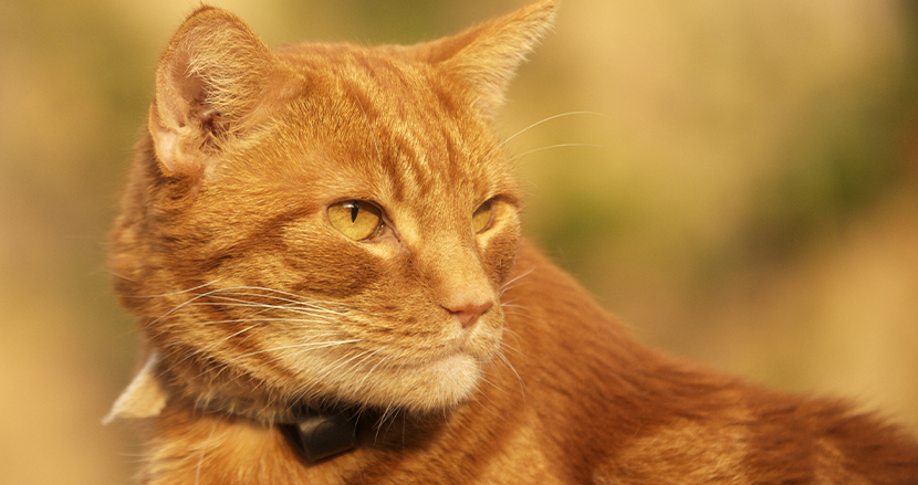 新しい飼い主に引き取られたトラ猫。40日間で60キロ走り、元のご主人に会いに行った話
