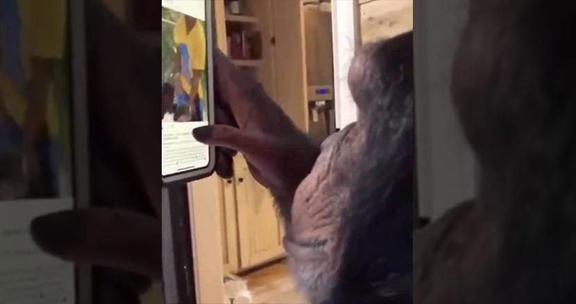 チンパンジーがスマホ画面をスクロールして動画を観る映像に震撼! 『猿の惑星』へまた一歩