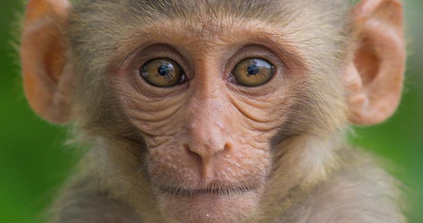 サルの脳に人間の遺伝子を移植したら、人間の脳のように肥大化!あの『猿の惑星』が現実に