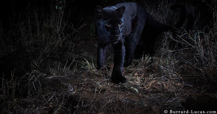 アフリカでは超絶レアな「野生の黒豹」を撮ったイギリス人フォトグラファーが語る撮影裏話
