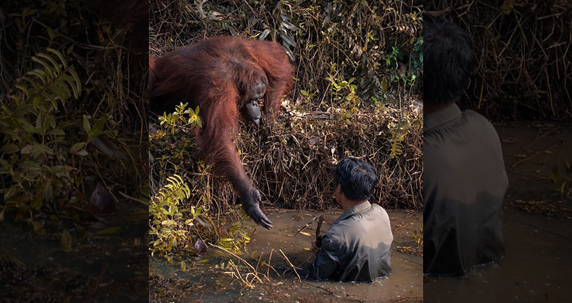 毒蛇のうごめく川に入った人間に、そっと手を差し伸べるオラウータン。種の壁を超えた絆に感動