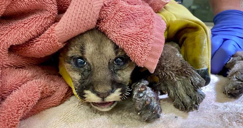 山火事に遭い、全身に火傷を負ったピューマの赤ちゃん。奇跡的に救出され一命を取り留める