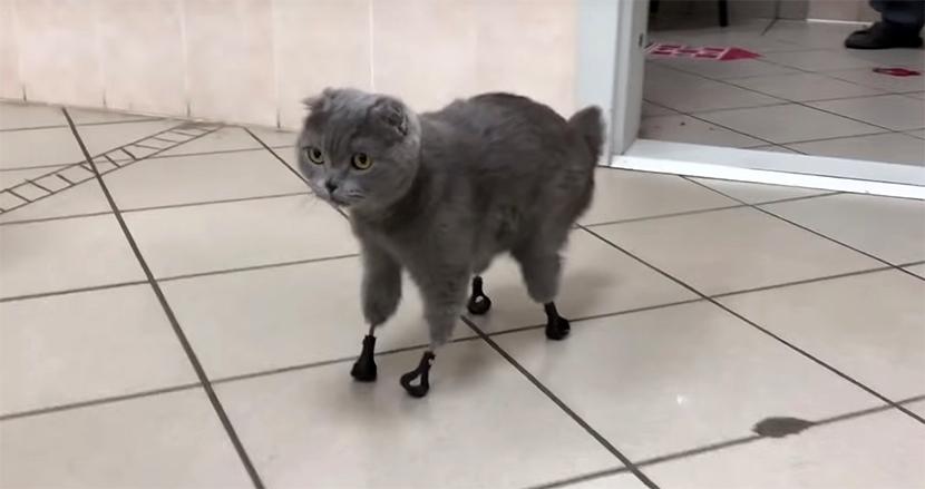 冬のシベリアで保護された猫。4本の脚を失うも、3Dプリンタで作ったチタン製の義足で、新たな人生を歩む