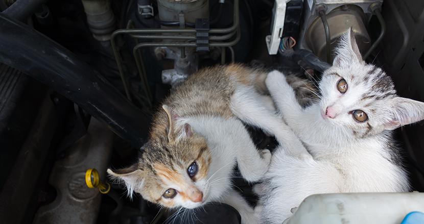 ドライバー必見!「猫バンバン」だけでは小さな命を救えない?ボンネットを開けて確認を