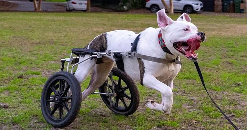 後ろ足が不自由な犬に贈られたのは一台の車イス!テンション高く、自由に走り回る姿に感動