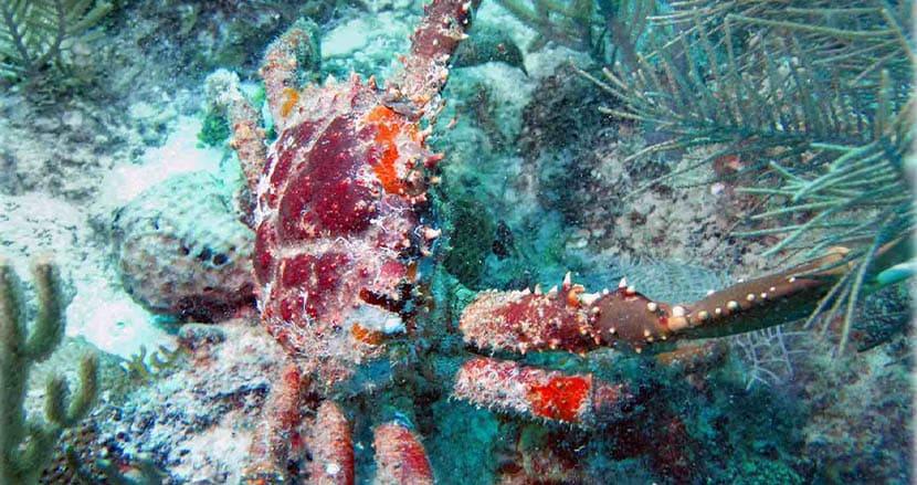 海藻を食べるカニが、絶滅の危機に瀕したサンゴ礁を救う!米国大の驚きの研究が明らかに
