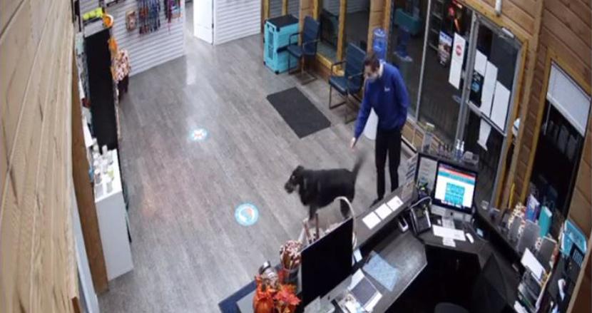 飼い主の起床を待ちきれなかったシェパード、早朝一人で家を飛び出し犬の保育園に遊びに来てしまう