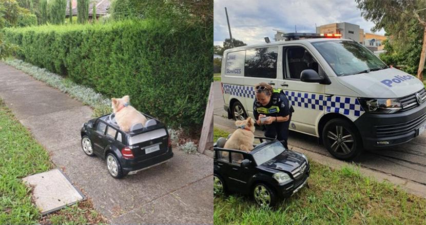 可愛すぎて職務質問。毛むくじゃらの犬が、おもちゃの車に乗っていた心温まる理由とは?