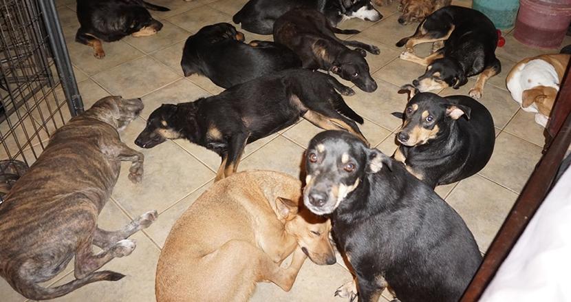 超巨大ハリケーンから犬たちを守れ!97匹の野良犬を自宅で救助した女性に称賛の声