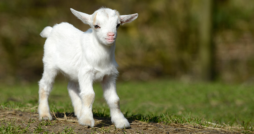 草刈り代行サービスのヤギ、可愛すぎてレンタルしても返却できなくなる説