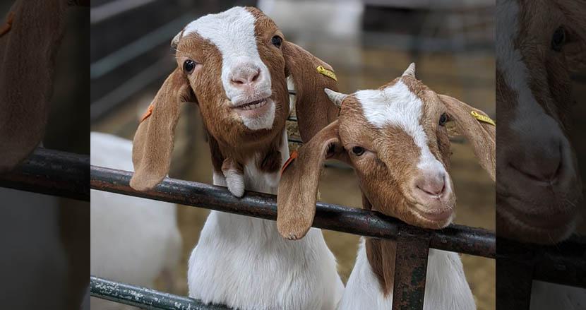 Zoomにヤギを参加させる?! 冗談半分で始めた農場のサービスが、710万円相当を売り上げる人気に