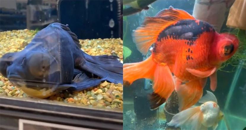ペットショップで弱っていた黒い金魚、購入し大事に育てたら美しい赤色に!劇的な変化に話題沸騰