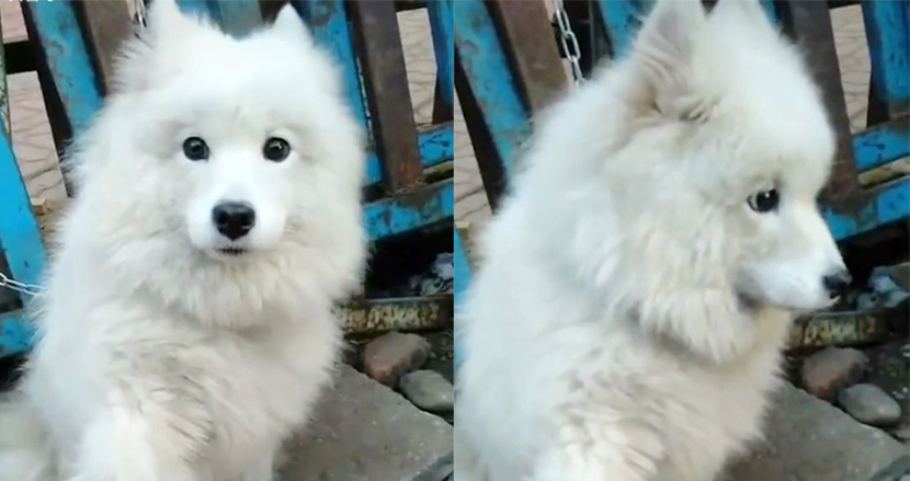 中国の食肉店で鎖につながれ命を失う直前の白い犬、手を差し伸べ助けを求める。その後の展開に胸をなで下ろす