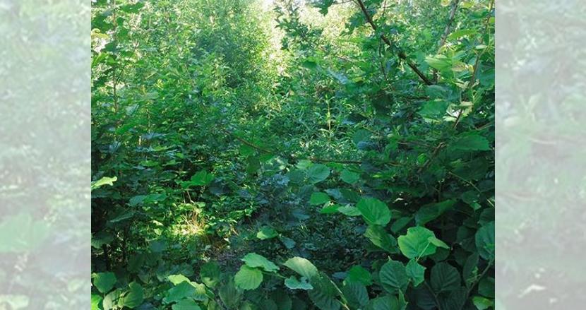 ヨーロッパで、日本発「宮脇方式」の植樹が急速に拡大。従来の10倍の速さで成長し、地球環境保全の切り札に
