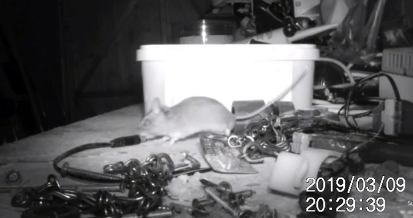 「なぜか毎晩、作業小屋が勝手に片付けられている」 カメラを設置してみたら、可愛らしいネズミが掃除していた