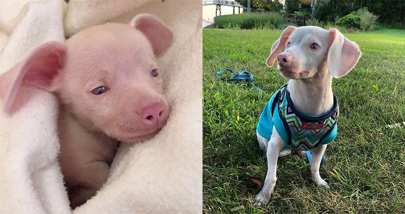 目と耳が不自由なピンクの子犬、逆境を乗り越えSNSの人気者に!子どもたちを勇気づける存在へと成長