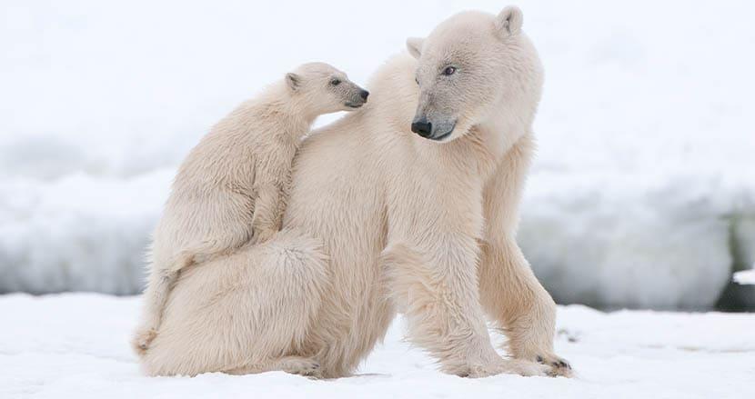 ホッキョクグマたちの命を守れ!トランプ大統領が推し進めた北極海の石油掘削プロジェクトが中止に