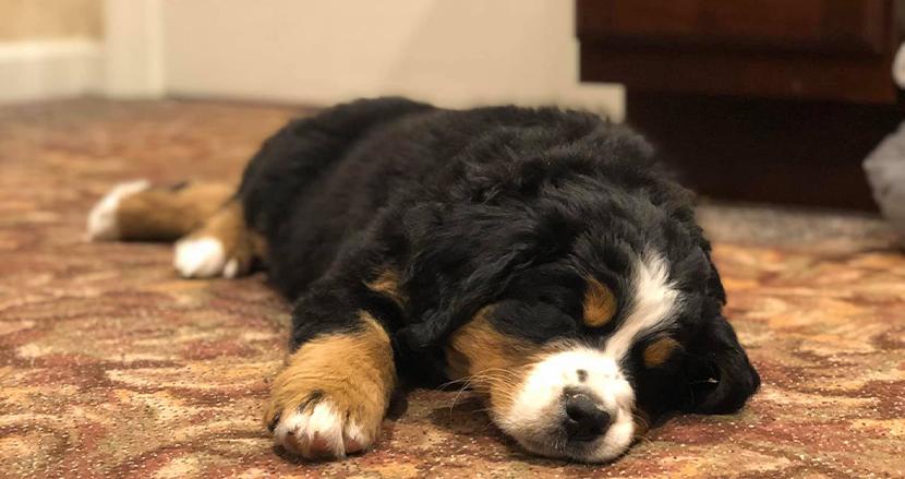 葬儀場が悲しみに暮れる家族を癒すため、生後8週間の子犬を採用。キュートすぎる姿がSNS上で反響