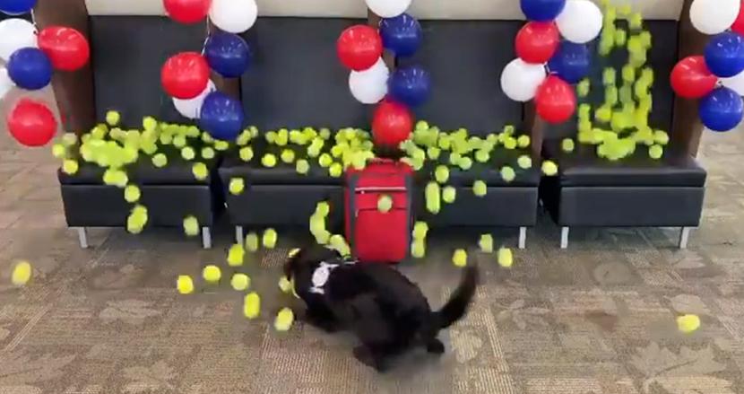 8年間空港勤務した爆弾探知犬、引退祝いは大好きなテニスボールがたくさん降ってくるサプライズ!