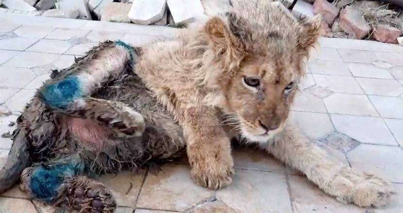 観光客との記念撮影のため、逃げないよう虐待されていた幼いライオン。救出され奇跡的に回復