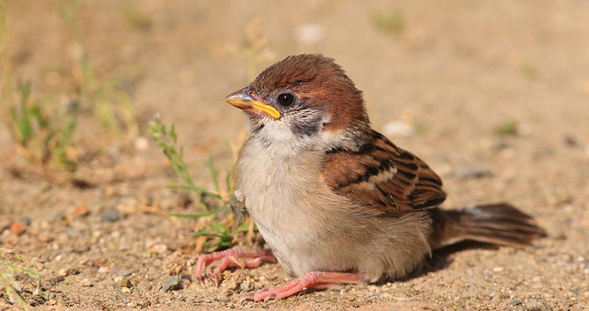 道端に落ちている野鳥のヒナを、拾って助けるのはNG! その理由とは?