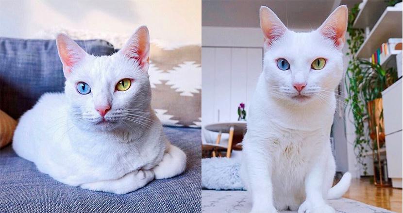 両目が異なる色で、指の数が多く生まれてきた白猫。生後飼い主に捨てられるも、今はSNSの人気者に