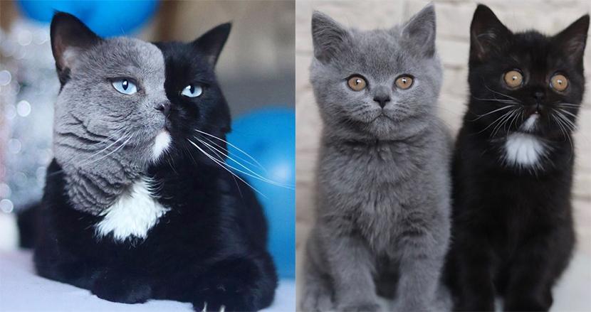 グレーと黒の2色の顔を持つインスタ大人気猫が父親に、誕生した子猫2匹の毛の色にビックリ